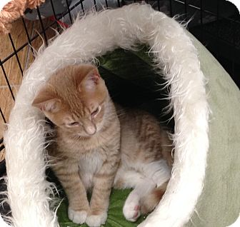 Domestic Shorthair Kitten for adoption in Edgewater, New Jersey - Clam