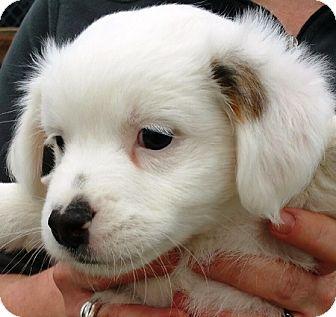 Pomeranian/Cavalier King Charles Spaniel Mix Puppy for adoption in Oswego, Illinois - I'M ADPTD Baby New Year Mitche