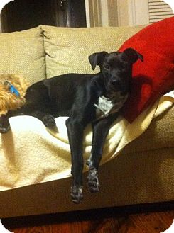 Labrador Retriever Mix Puppy for adoption in St. Charles, Illinois - Mike