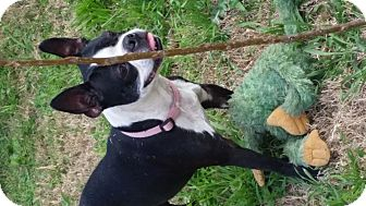 Boston Terrier Mix Dog for adoption in San Antonio, Texas - Sue