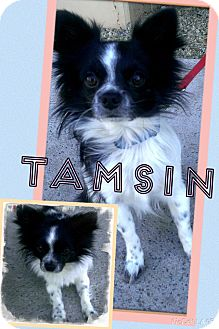 Papillon Mix Dog for adoption in Apache Junction, Arizona - Tamsin
