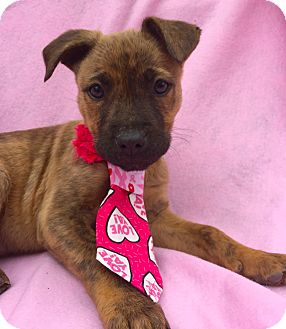 Boxer/Shepherd (Unknown Type) Mix Puppy for adoption in Irvine, California - Pollywog