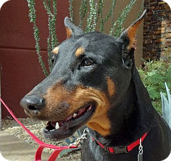 Doberman Pinscher Dog for adoption in Las Vegas, Nevada - Maya