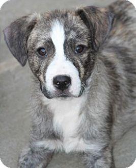 Labrador Retriever/Collie Mix Dog for adoption in Woonsocket, Rhode Island - Zydeco