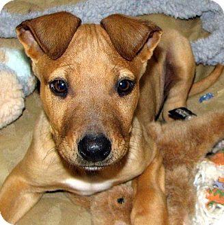 Labrador Retriever Mix Puppy for adoption in Truckee, California - Thumper