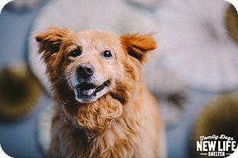 Chow Chow/Golden Retriever Mix Dog for adoption in Portland, Oregon - Charlie