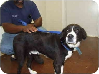Labrador Retriever Mix Dog for adoption in Shelbyville, Kentucky - Eddie