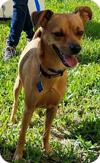 Chihuahua Mix Dog for adoption in Miami, Florida - Bullet