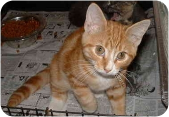 Domestic Shorthair Kitten for adoption in Honesdale, Pennsylvania - Flame