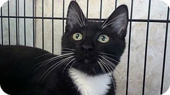 Domestic Shorthair Cat for adoption in Tyler, Texas - AA-Ashton