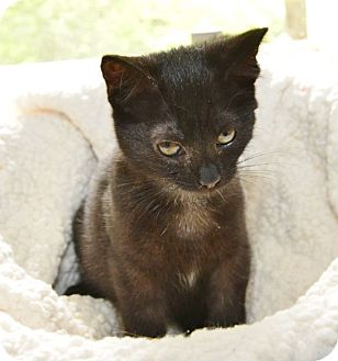 Domestic Mediumhair Kitten for adoption in Davis, California - Buttercup