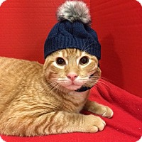 Domestic Shorthair Cat for adoption in Houston, Texas - Willie