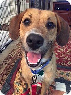 Terrier (Unknown Type, Medium)/Shepherd (Unknown Type) Mix Dog for adoption in Alpharetta, Georgia - Linus Frost