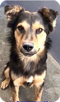 Collie/Australian Shepherd Mix Dog for adoption in Staunton, Virginia - Captain