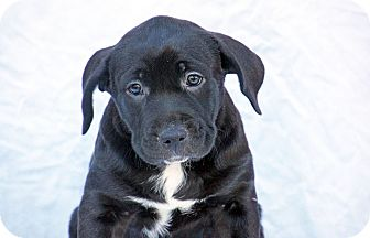 Labrador Retriever/Pit Bull Terrier Mix Puppy for adoption in Marion, North Carolina - Angel