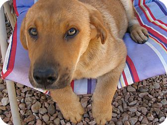 German Shepherd Dog/Golden Retriever Mix Puppy for adoption in Groton, Massachusetts - Tramp