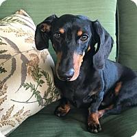 Adopt A Pet :: Chevy - Weston, FL
