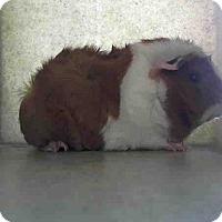 Adopt A Pet :: *Urgent* Miracle - Fullerton, CA