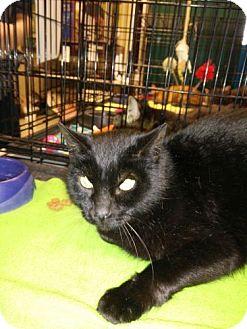 Domestic Shorthair Cat for adoption in Avon, Ohio - Percy aka Shiloh