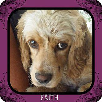 Cocker Spaniel Mix Dog for adoption in Santa Barbara, California - Faith