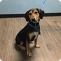 Adopt A Pet :: Iron Man - Joliet, IL