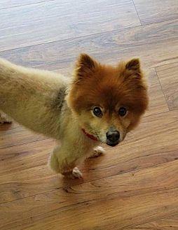 Pomeranian Dog for adoption in Dallas, Texas - Madden