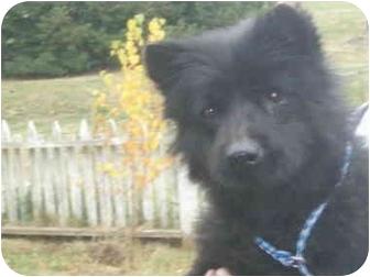 Chow Chow Mix Dog for adoption in Sacramento, California - SASSY