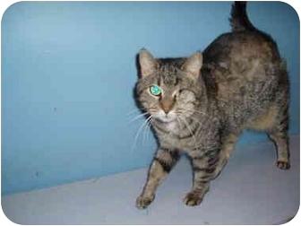 Domestic Shorthair Cat for adoption in Hamburg, New York - Mila