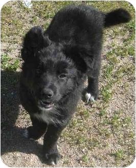 Australian Shepherd Mix Puppy for adoption in Columbus, Nebraska - Jewel