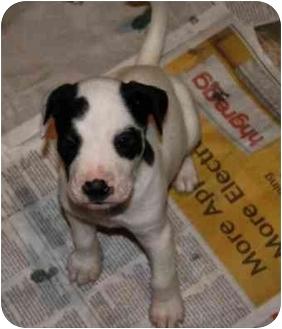 """American Bulldog/Boxer Mix Puppy for adoption in Marietta, Georgia - Rio Grande """"Rio"""""""