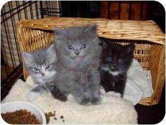 Domestic Mediumhair Kitten for adoption in Beverly, Massachusetts - kittens