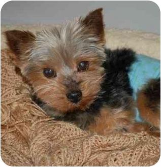Yorkie, Yorkshire Terrier Dog for adoption in Charlotte, North Carolina - Max