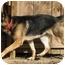 Photo 2 - German Shepherd Dog Dog for adoption in Brattleboro, Vermont - Kodi