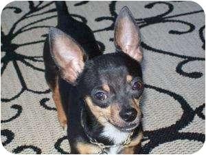 Chihuahua Mix Dog for adoption in Edmond, Oklahoma - Kipper