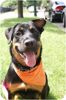 Rottweiler Mix Dog for adoption in Chicago, Illinois - Sloane