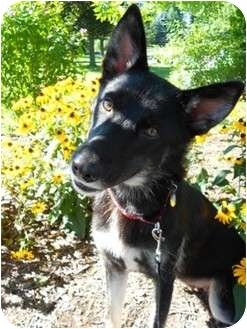 German Shepherd Dog Mix Dog for adoption in Rochester/Buffalo, New York - Anna
