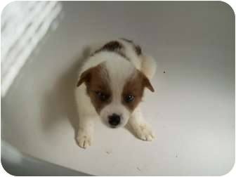 American Eskimo Dog/Collie Mix Puppy for adoption in Bel Air, Maryland - Mohawk