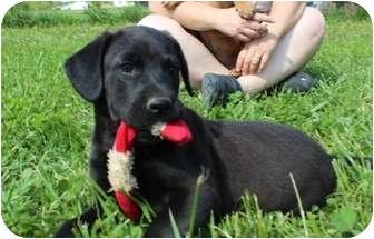 Labrador Retriever/Boxer Mix Puppy for adoption in Spring Valley, New York - Lizard