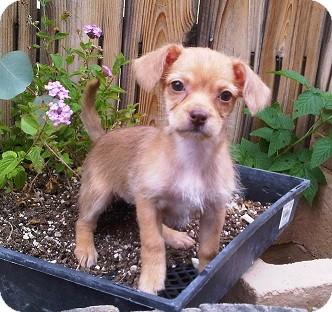 Dachshund Mix Puppy for adoption in Tustin, California - Squash
