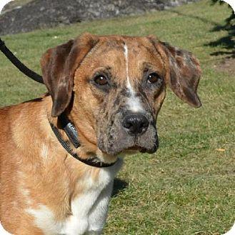 Catahoula Leopard Dog/Labrador Retriever Mix Puppy for adoption in Elyria, Ohio - Luke-Prison Dog