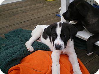 Border Collie/Labrador Retriever Mix Puppy for adoption in Apex, North Carolina - Coolidge