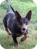 Dachshund/Miniature Pinscher Mix Dog for adoption in Foster, Rhode Island - Winnie-I am in New England!