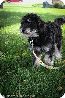 Schnauzer (Standard)/Poodle (Miniature) Mix Puppy for adoption in Broomfield, Colorado - Zucchini