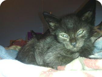 Domestic Shorthair Kitten for adoption in Warren, Michigan - Holden