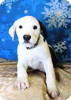 Catahoula Leopard Dog/Retriever (Unknown Type) Mix Puppy for adoption in Westminster, Colorado - Outkast