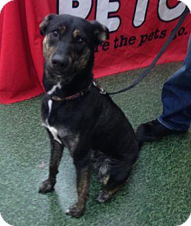 Plott Hound/Australian Kelpie Mix Dog for adoption in Lincolnton, North Carolina - Bruce