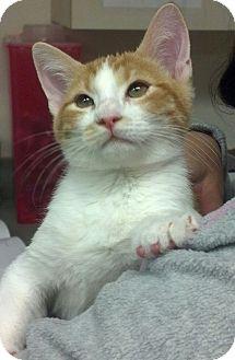 Domestic Shorthair Kitten for adoption in Flower Mound, Texas - Poe