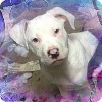 Adopt A Pet :: Rascal - Burr Ridge, IL
