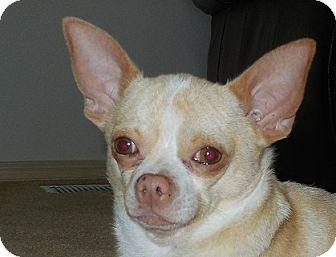 Chihuahua Dog for adoption in Covington, Washington - Kenny-adopted!!