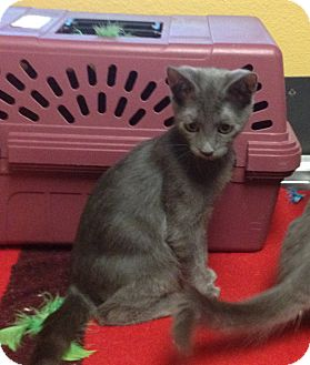Russian Blue Kitten for adoption in Santa Rosa, California - grey kitten
